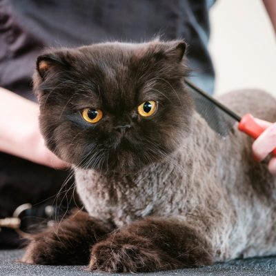 A professional cat groomer finishes the grooming on a cat. The pet is laying on a grooming table, inside a pet grooming business while the woman groomer combs the animal's hair.